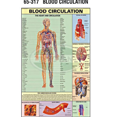 MS Chart – Blood Circulation Synthetic 65317