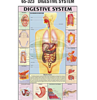 MS Chart – Digestive System Synthetic 65323