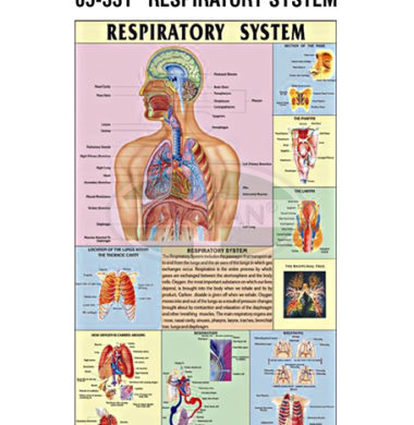 MS Chart – Respiratory System Synthetic 65331
