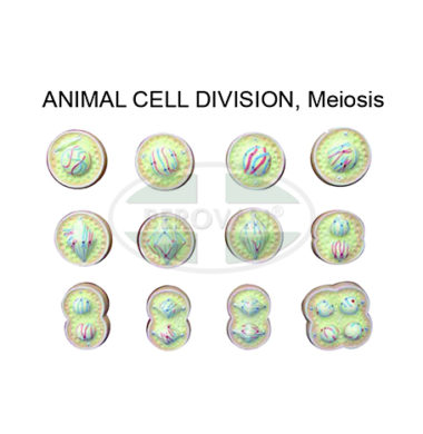 MS H-Animal Cell Div-Meiosis