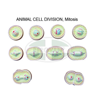 MS H-Animal Cell Div-Mitosis